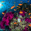 Schooling fish over Coral Bommie