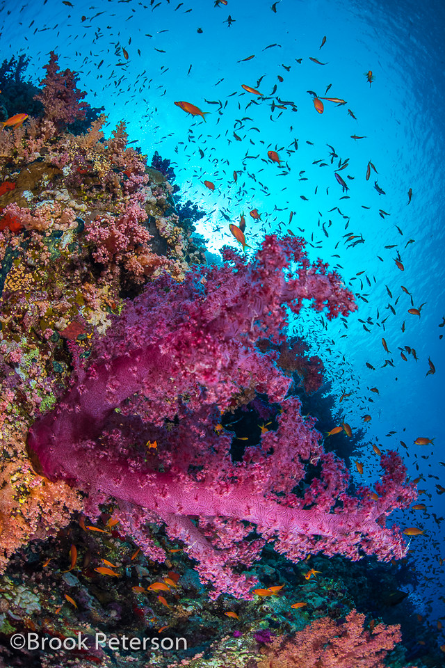 Soft Coral Scene