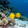 Butterfly Fish Pair