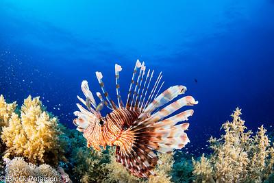 Red Sea Lion Fish