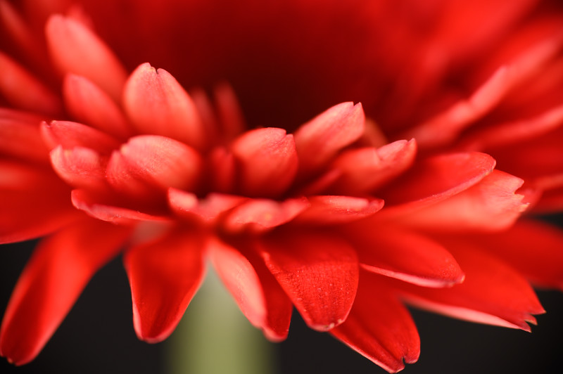 Gerbera Daisy Red Close up