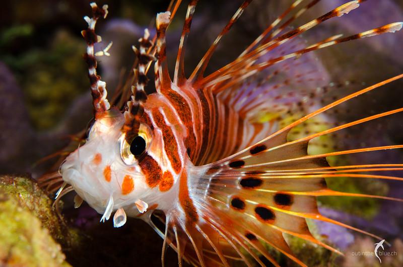 Juvenile Lionfish, Wakatobi, Indonesia