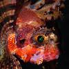Fuzzy Dwarf Lionfish, Dauin, Philippines