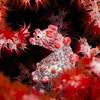 Pygmy Seahorse, Hippocampus Bargibanti, Wakatobi, Indonesia