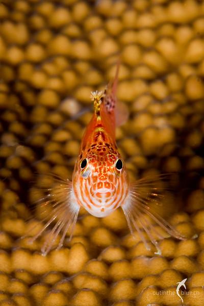 Hawk Fish, Raja Ampat, Indonesia