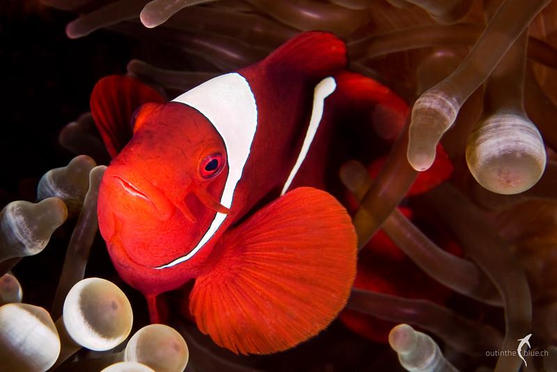 Anemone Fish, Raja Ampat, Indonesia