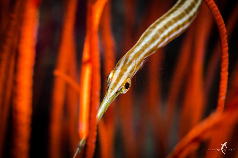 Trumpetfish, Wakatobi, Indonesia
