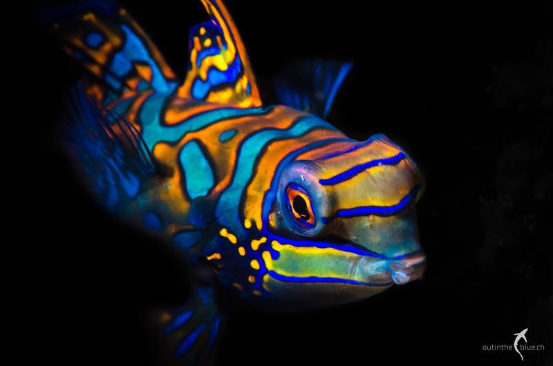 Mandarin Fish, Bohol, Philippines
