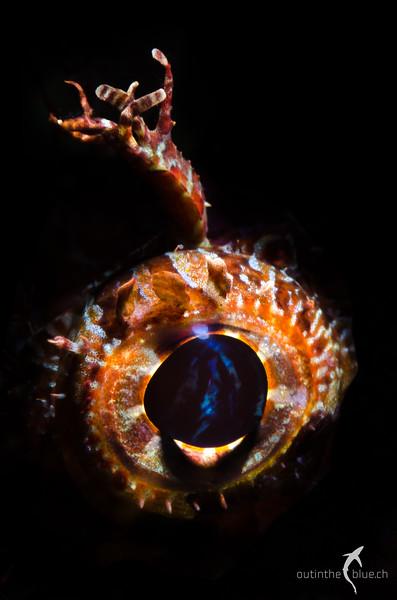 Bearded Scorpionfish, Dauin, Philippines
