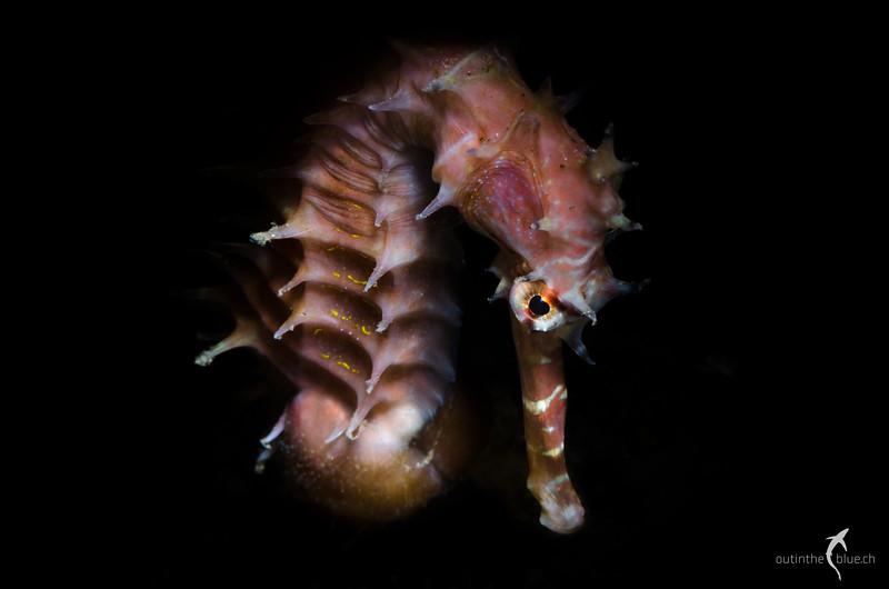 Thorny Seahorse, Dauin, Philippines