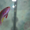 Lyretail Anthias - Male