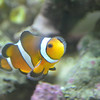 Male Clownfish