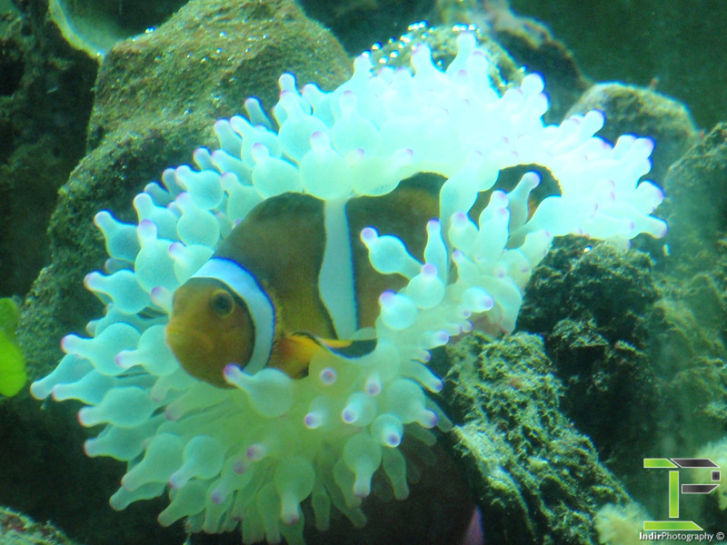 Female Clownfish