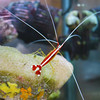Red-Line Cleaner Shrimp
