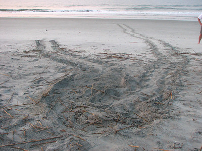 Loggerhead turtles nest on Folly from May to June/July.  These are tracks of a loggerhead that nested not far from our house.