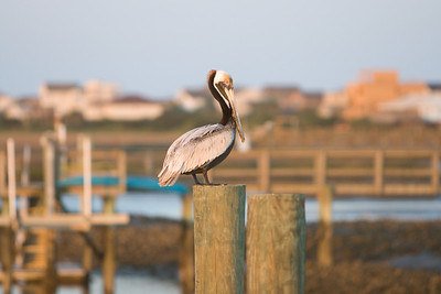 pelican watch from our dock