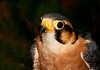 "<div class=""jaDesc""> <h4> Aplomado Falcon - Close-up #1 - May 14, 2011 </h4> <p> I would not want to be the prey subject of this female Aplomado Falcon's stare (The Raptor Project presentation).</p> </div>"