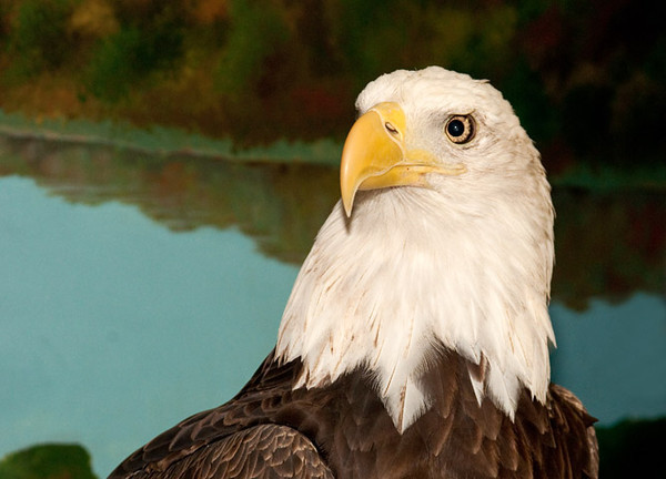 """<div class=""""jaDesc""""> <h4> Re-habilitated Bald Eagle - May 14, 2011 </h4> <p> One of the star birds at The Raptor Project presentation by Jonathan Wood was this rehabilitated Bald Eagle. He was very well behaved during the entire presentation.</p> </div>"""