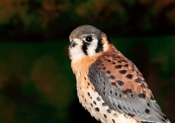 """<div class=""""jaDesc""""> <h4> Rehabilitated American Kestrel Close-up - May 14, 2011 </h4> <p> This male American Kestrel was one of the stars in a presentation of The Raptor Project by Jonathan Wood.  He seemed to like having his picture taken.</p> </div>"""