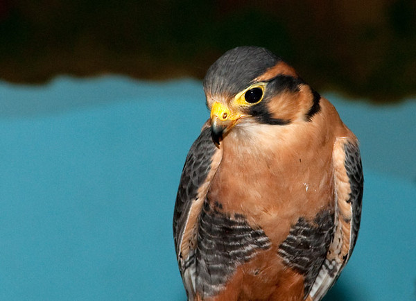 """<div class=""""jaDesc""""> <h4> Aplomado Falcon - Close-up #2 - May 14, 2011 </h4> <p> This rehabilitated Aplomado Falcon was really locked onto me as I took her photo from my seat in the front row of the audience (The Raptor Project presentation).</p> </div>"""