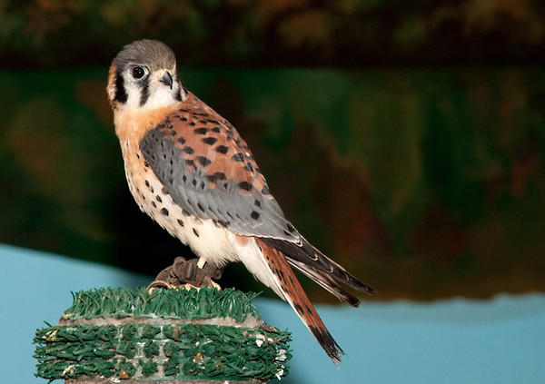 """<div class=""""jaDesc""""> <h4> Rehabilitated Male American Kestrel - May 14, 2011 </h4> <p> This American Kestrel was one of the stars in a presentation of The Raptor Project by Jonathan Wood.  All the birds in this traveling exhibit at the Waterman Conservation Center (Apalachin, NY) were injured and rehabilitated by Jonathan, but are handicapped enough that they cannot return to the wild.</p> </div>"""