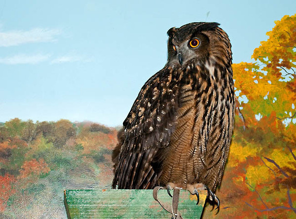 """<div class=""""jaDesc""""> <h4> Rehabilitated Eurasian Eagle Owl - The Raptor Project </h4> <p> This female Eurasian Eagle Owl, the largest species of owl in the world, is another star of the Raptor Project presentation by Jonathan Wood.  The Eurasian Eagle Owl is an old world owl found in all parts of Europe and the Middle east as well as on the African continent. It is a very hardy owl able to breed in the arid Sahara and Arabian deserts, the jungles of equatorial Africa, as well as in the northern reaches of Siberia.</p> </div>"""