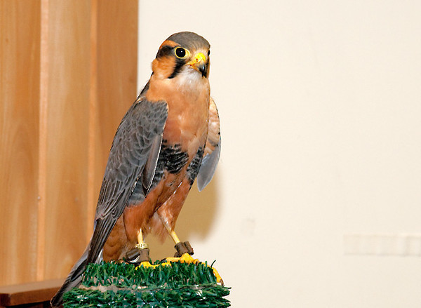"<div class=""jaDesc""> <h4> Aplomado Falcon - The Raptor Project - May 14, 2011 </h4> <p>  This rehabilitated Aplomado Falcon is another of the stars of The Raptor Project presentation. She originally came from Peru where she was injured and unable to continue living in the wild. Aplomado Falcons are the size of small Peregrine Falcons. Their habitat is dry grasslands and marshes ranging from Mexico through southern South America.</p> </div>"