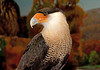 "<div class=""jaDesc""> <h4> Crested Caracara - The Raptor Project - May 14, 2011 </h4> <p>  This Crested Caracara is one of 3 rehabilitated falcons that are part of The Raptor Project presentation by Jonathan Wood. Crested Caracaras are vulture-like falcons with a distinctive flat head and reddish bare skin on the face. Their preferred habitat is pastures, river edges, and ranches. They reside in the southwestern United States and Florida, Central and South America.</p> </div>"
