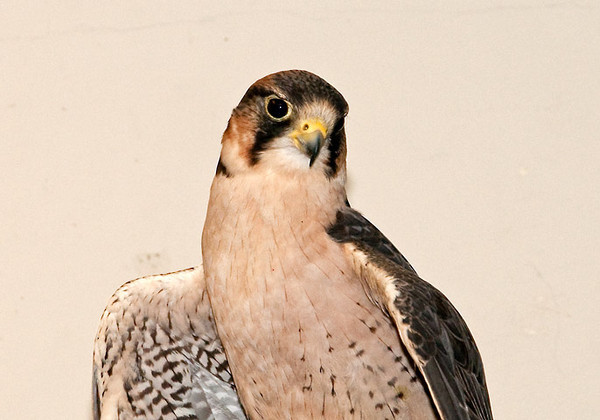 "<div class=""jaDesc""> <h4> Peregrine Falcon - The Raptor Project - May 14, 2011 </h4> <p>  This is a Peregrine Falcon that was rehabilitated and is now part of The Raptor Project presentation by Jonathan Wood. Peregrine Falcons are one of the fastest birds in the world, reaching speeds of 175 MPH in a dive to catch another bird. They often nest on tall buildings in large cities.</p> </div>"