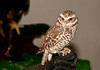 "<div class=""jaDesc""> <h4> Rehabilitated Burrowing Owl - The Raptor Project </h4> <p> This little Burrowing Owl was another of the star birds in The Raptor Project show by Jonathan Wood.  Burrowing Owls are long-legged with a short tail.  They inhabit grasslands and prairies, and use an abandoned burrow for their nest and daytime roost.</p> </div>"