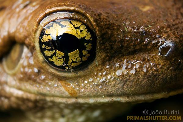 Eye details of a milk frog