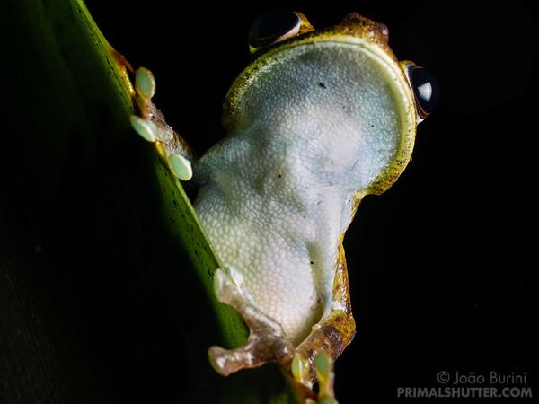 Palmar tree frog
