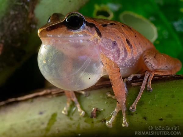 Frog vocalizing