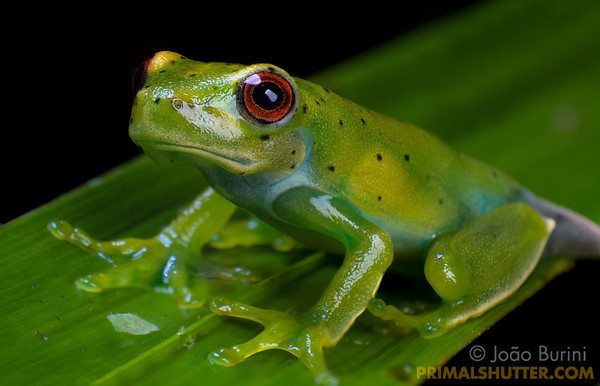 Green treefrog with red eyes