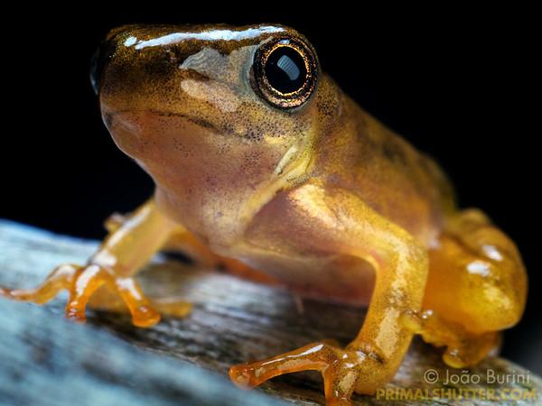 Golden treefrog imago