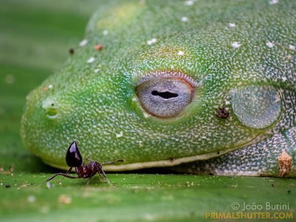 Heart shaped ant checking a sleeping green treefrog
