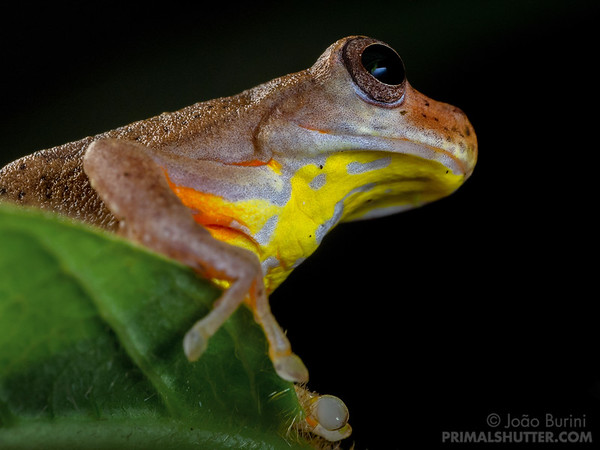Executioner clownfrog