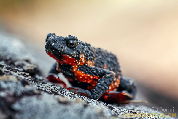 Maldonada's redbelly toad