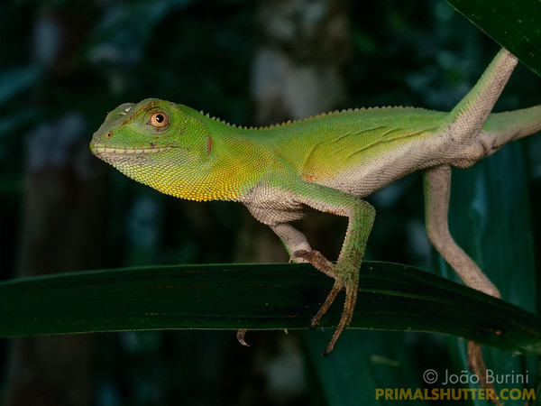 Green anole on a palm leaf