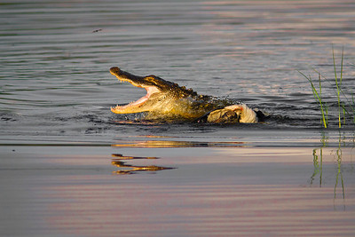 Gator gets a Woodstork for Breakfast