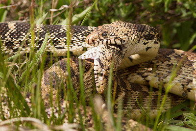 Bull snakes fighting-2604