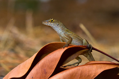 Anole Lizzard on dead leaves