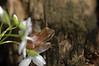 Spring Peeper on a Spring Beauty