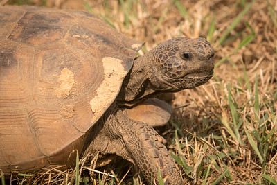 Gopher Tortoise-6619