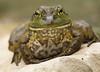 Smiling Bullfrog