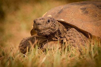 Gopher Tortoise-6644