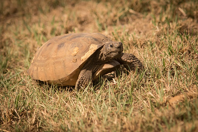 Gopher  Tortoise-6581