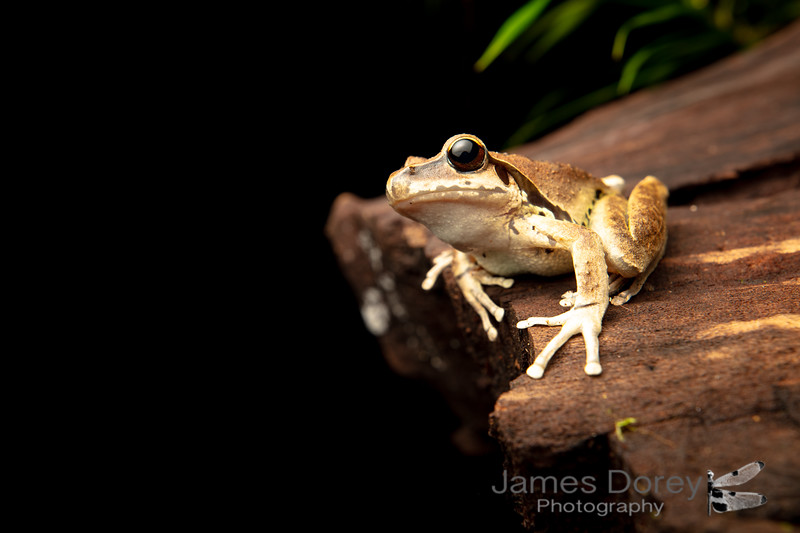 Stony-creek frog (Litoria wilcoxii)