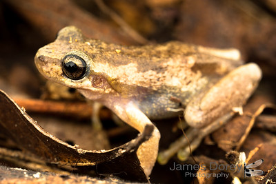 [possibly] The Bleating tree frog (Litoria dentata)
