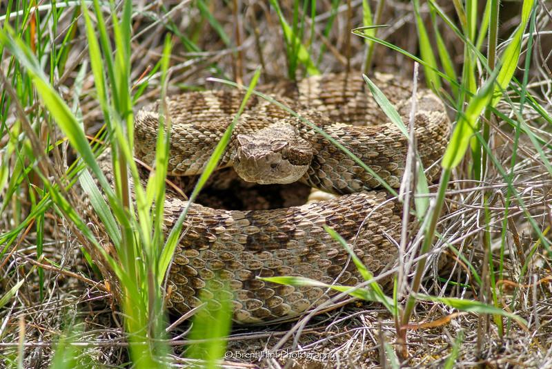DF.3538 - Northern Pacific rattlesnake, Columbia National Wildlife Refuge, WA.
